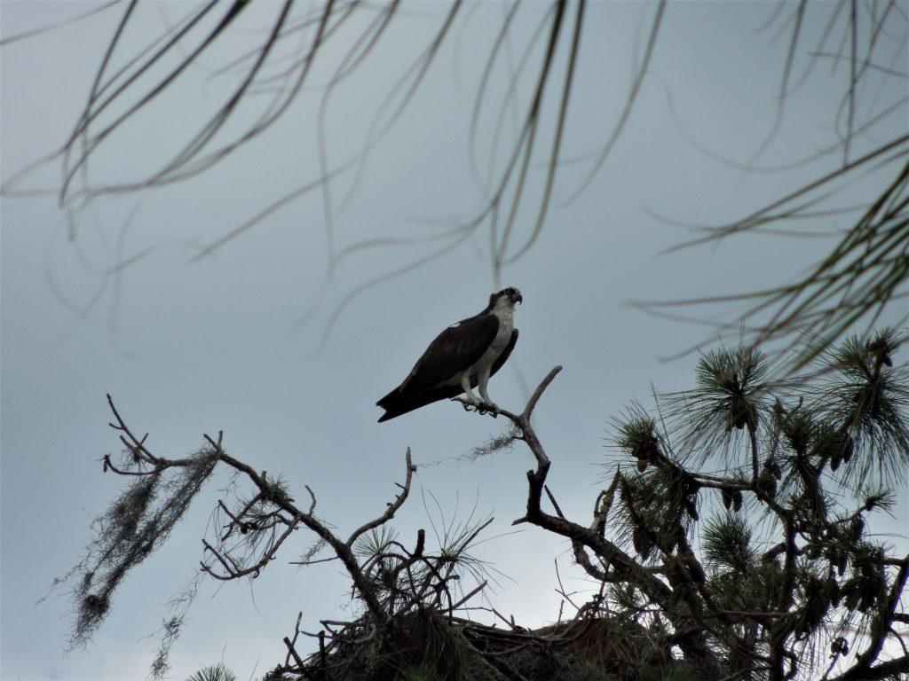 Osprey on The Golf Course