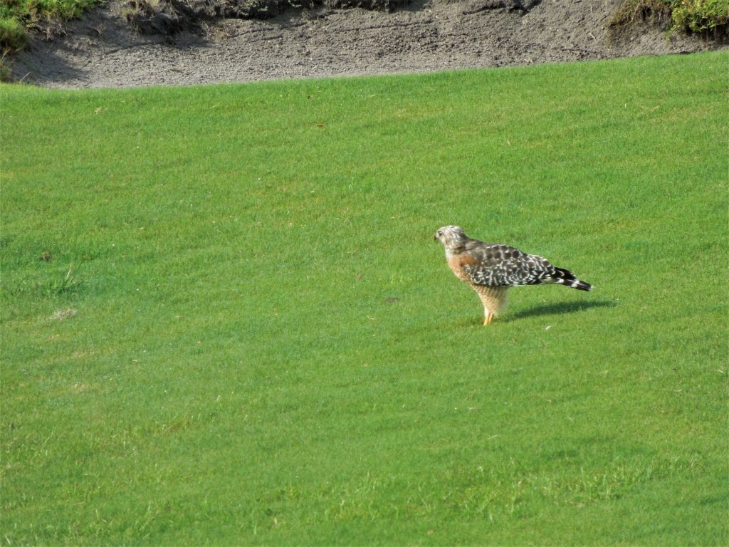 Hawk on the Golf Course