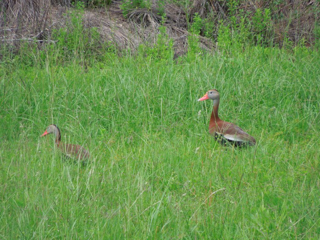 Ducks on the Golf Course