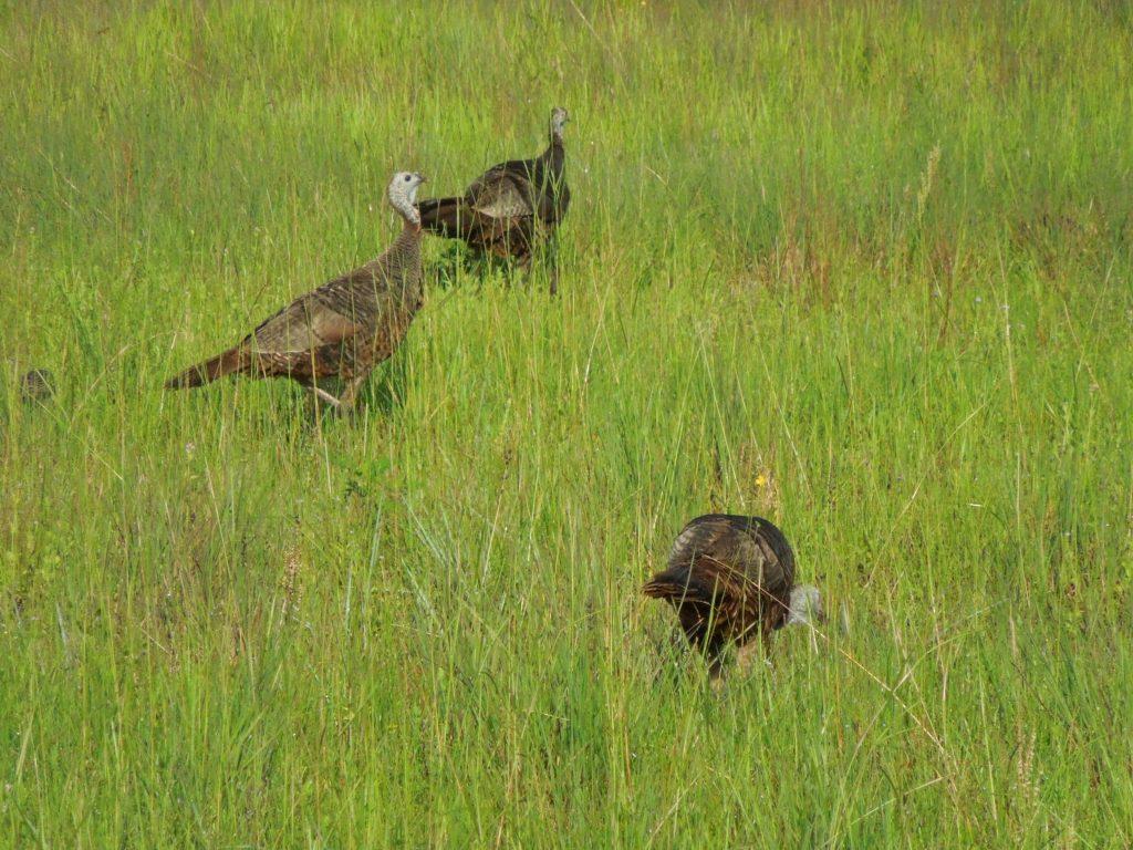 Turkeys on the Golf Course