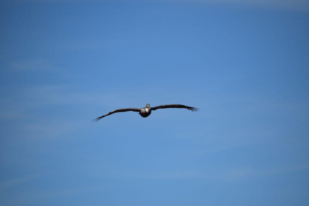 Pelican off Hutchinsen Island